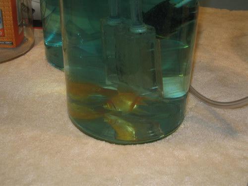 Золотая рыблка плавает в одном емкости вместе в ватерблоком